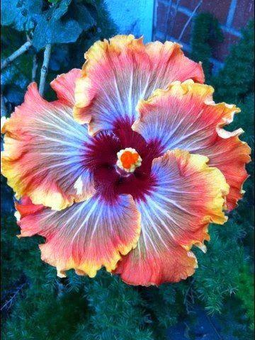 Fiery Furnace Hibiscus ~ Co
