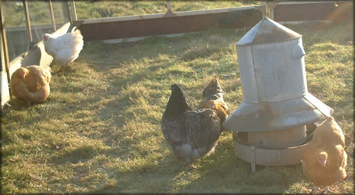 Feeding Chickens -   Chicken Feeders Ideas