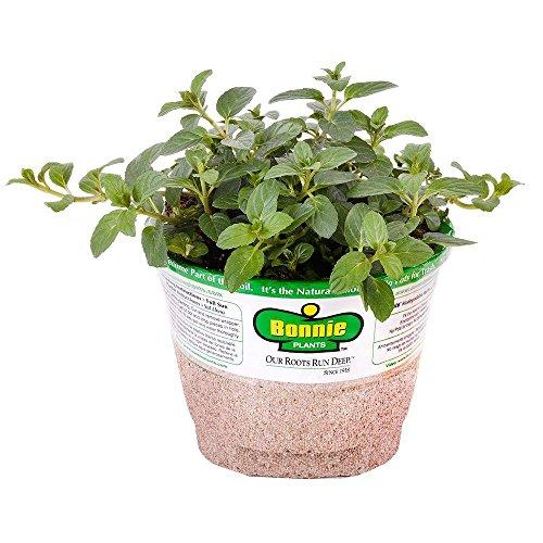 Bonnie Plants 5108 Peppermint Herb Plant