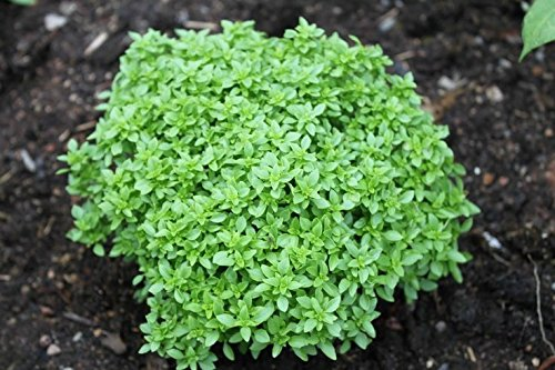 Herb Seeds - Globe Basil - Best Cooking Variety - Heirloom