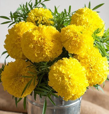 Flower Marigold Giant Yellow 50 Open Pollinated Seeds