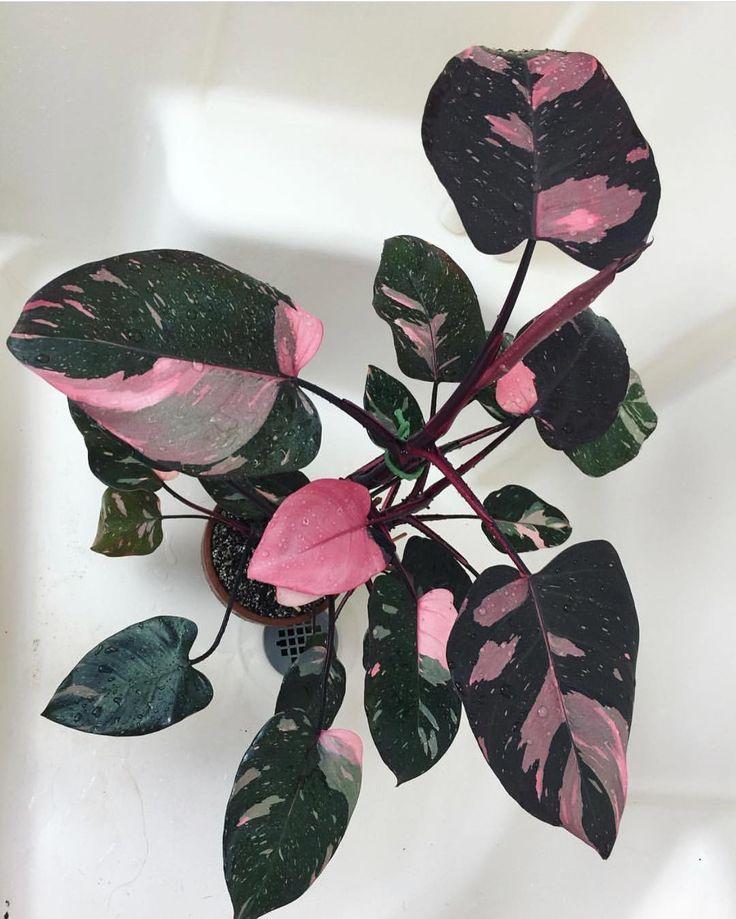 Philodendron Pink Princess -   13 plants Beautiful colour ideas